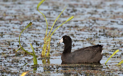 American Coot.