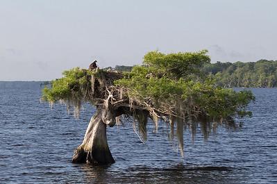 Osprey nest at lake Blue Cypress.