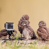 Burrowing Owlets and GoPro in Florida