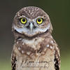 Burrowing Owlet in Florida