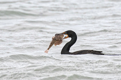 Double crested Cormorant with fish.