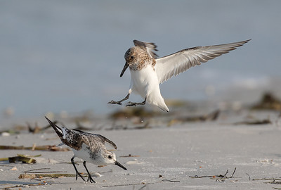 Sanderlings fighting.