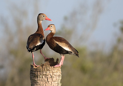 Black bellied Whistling Ducks.