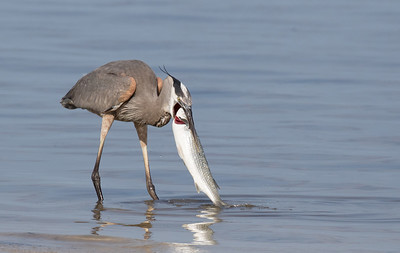 Great Blue Heron with large fish.