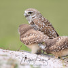 Burrowing Owls and two Owlets in Florida