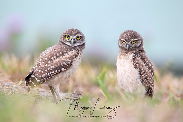 Burrowing Owlets in Cape Coral, Florida