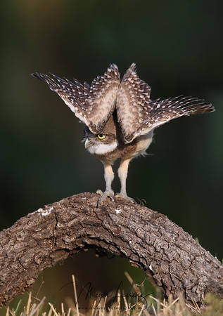 Burrowing Owlet stretching in Cape Coral, Florida