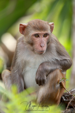 Feral Rhesus Macaque in Silver Springs, Florida