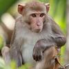 Feral Rhesus Macaque in Silver Springs, Florida