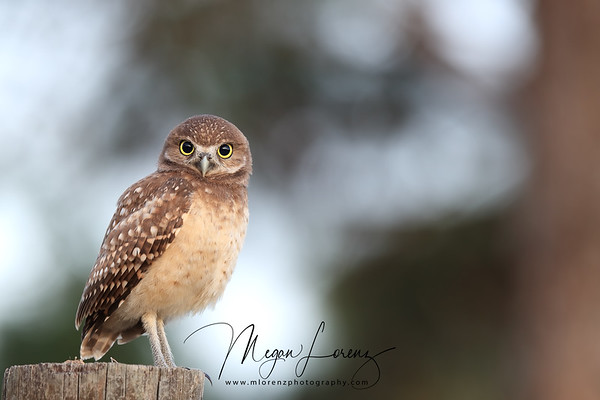 Curious Burrowing Owlet standing on a fencepost in Florida.