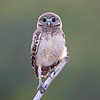 Curious Burrowing Owlet in Florida