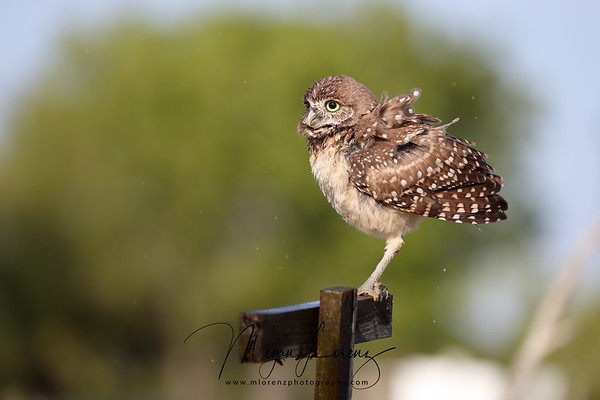 Wet Burrowing Owlet shaking off his feathers in Florida.