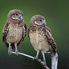 Two Burrowing Owlets balancing on a branch in Florida