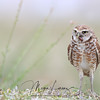 Adult Burrowing Owl with a beetle in Florida