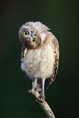 Curious Burrowing Owlet tilting his head in Florida