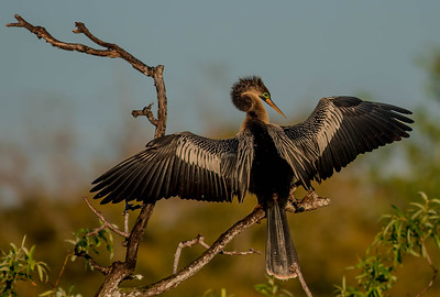 Anhinga Display