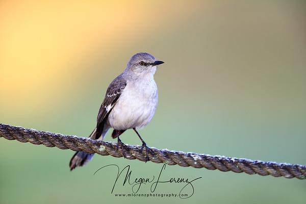 Northern Mockingbird in Florida