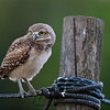 Burrowing Owlet standing on a rope surrounding its burrow in Florida.