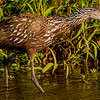 Limpkin Fishing
