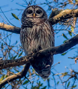 Barred Owl Mom and baby