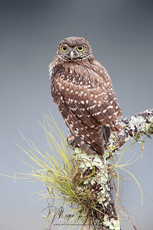 Wet Burrowing Owlet during a rainstorm in Florida.