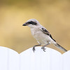 Loggerhead Shrike in Florida.