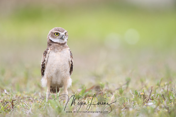 Cute Burrowing Owlet standing tall in Florida.