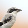 Closeup of a Loggerhead Shrike in Florida.