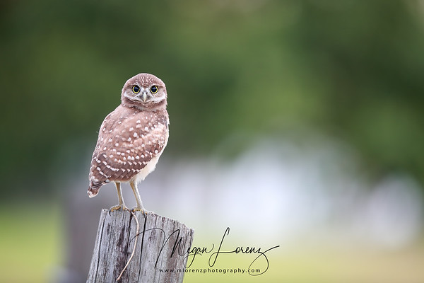 Florida Burrowing Owlet watching the photographer.