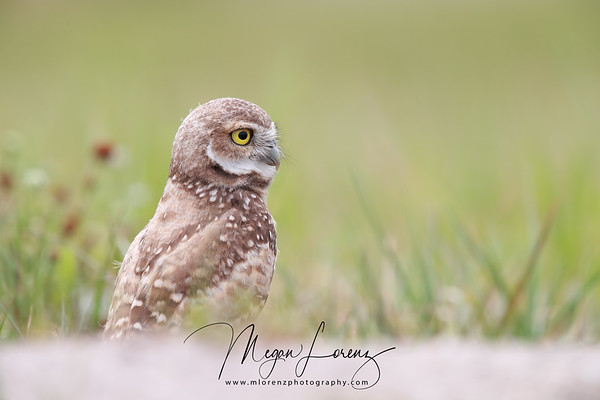 Florida Burrowing Owlet