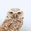 Adult Male Burrowing Owl in Florida
