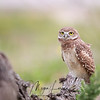 Curious Florida Burrowing Owlet