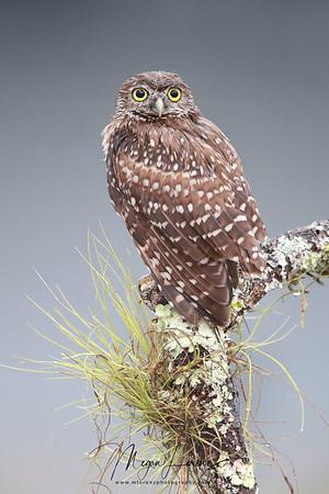 Wet Florida Burrowing Owlet during a rainstorm.