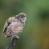 Wet Burrowing Owlet in the rain in Florida.