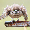 Florida Burrowing Owlet dancing in the rain.