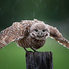 Burrowing Owlet soaking up the rain in Florida.