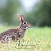 Eastern Cottontail Rabbit in Florida.