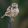 Wet Burrowing Owlet shaking off the rain in Florida.