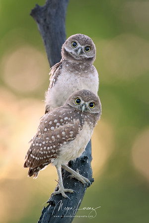 Two Burrowing Owlets staring at the photographer in Florida.