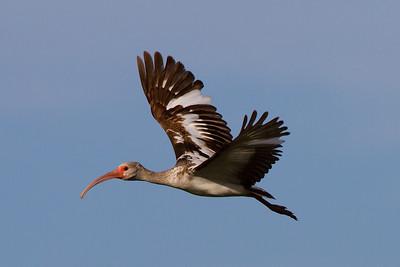 Wite Ibis (juvenile)
