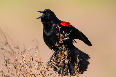 Red-winged Blackbird Sarasota Celery Fields