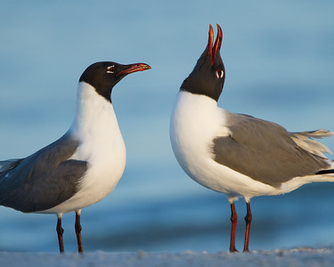 Laughing Gulls Fort DeSoto Park