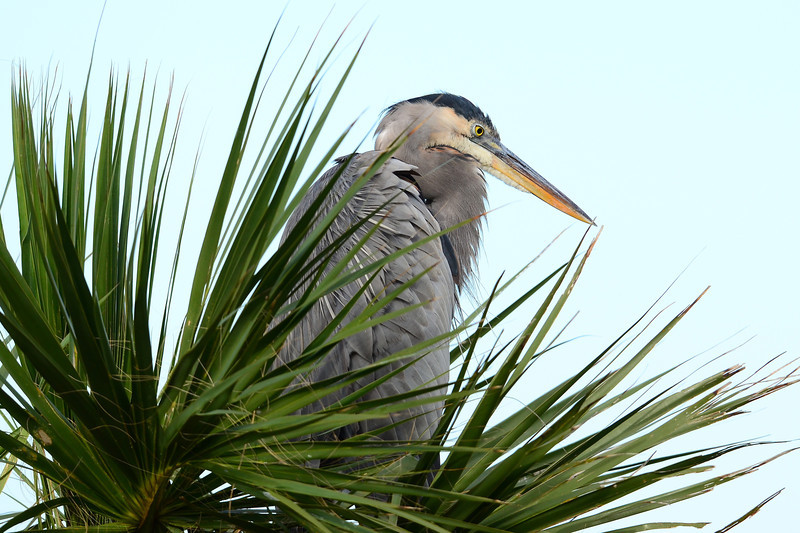 Great Blue Heron on nest in Palm tree