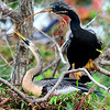 Male and Female Anhingas building nest
