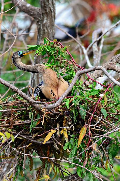 Female Anhinga fixing her nest