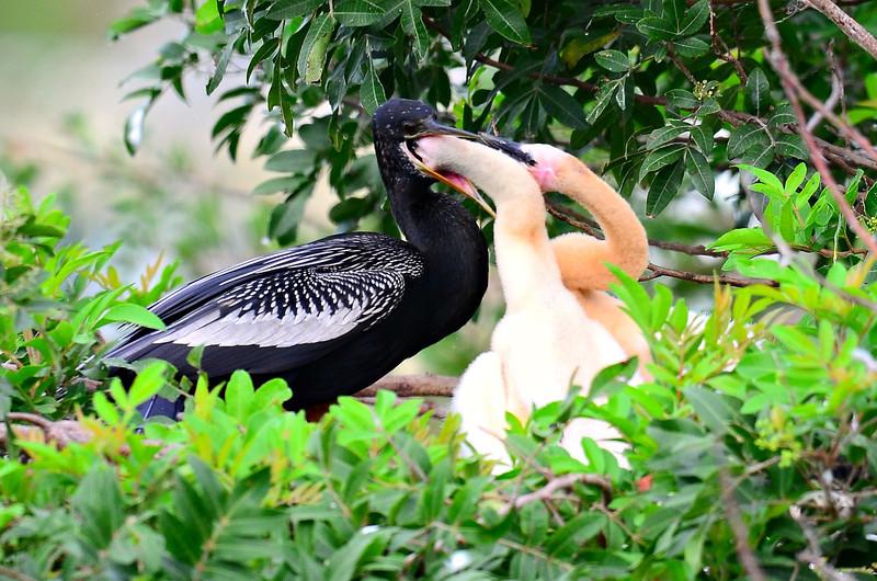 Male Anhinga feeding juveniles