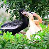 Male Anhinga feeding juveniles