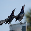 Boat-Tailed Grackles, Lake Maggiore