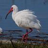 White Ibis, Lake Maggiore