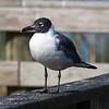 Franklin's Gull, Lake Maggiore